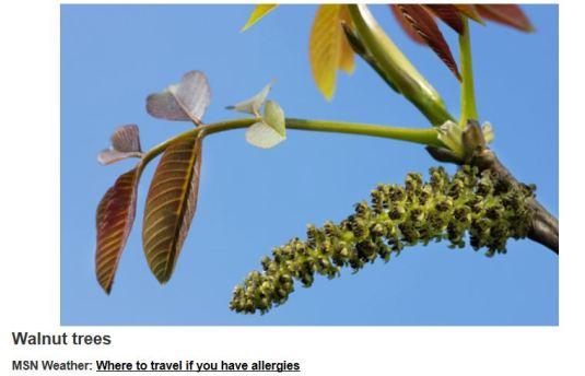 Allergy causing pollen in Spring